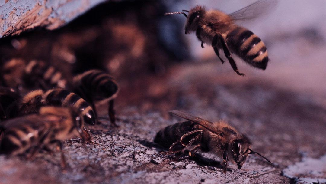 ODS 13: As mudanças climáticas e o impacto na vida das abelhas