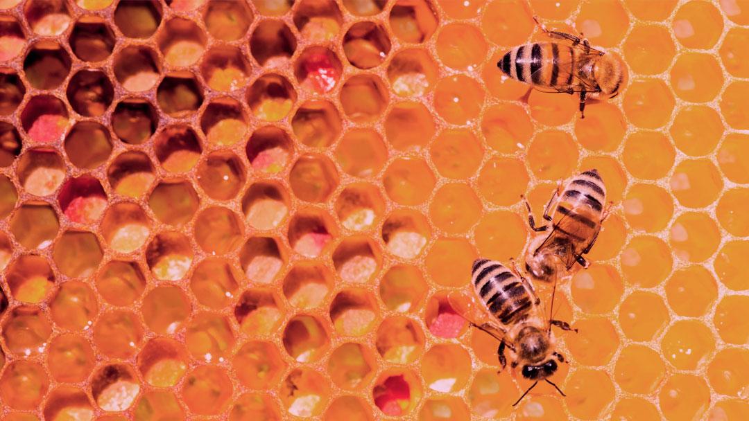 Por que precisamos de abelhas?