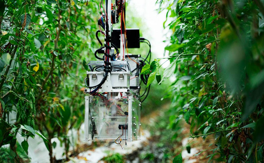 L: Um robô de colheita automática de pimentões no sul do Japão